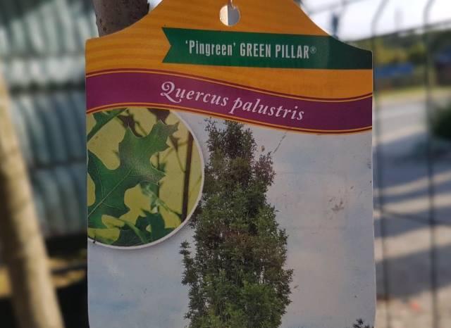 dąb błotny green pillar sadzenie