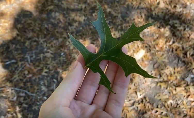 liść dębu green pillar
