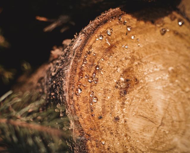 żywica na drzewie